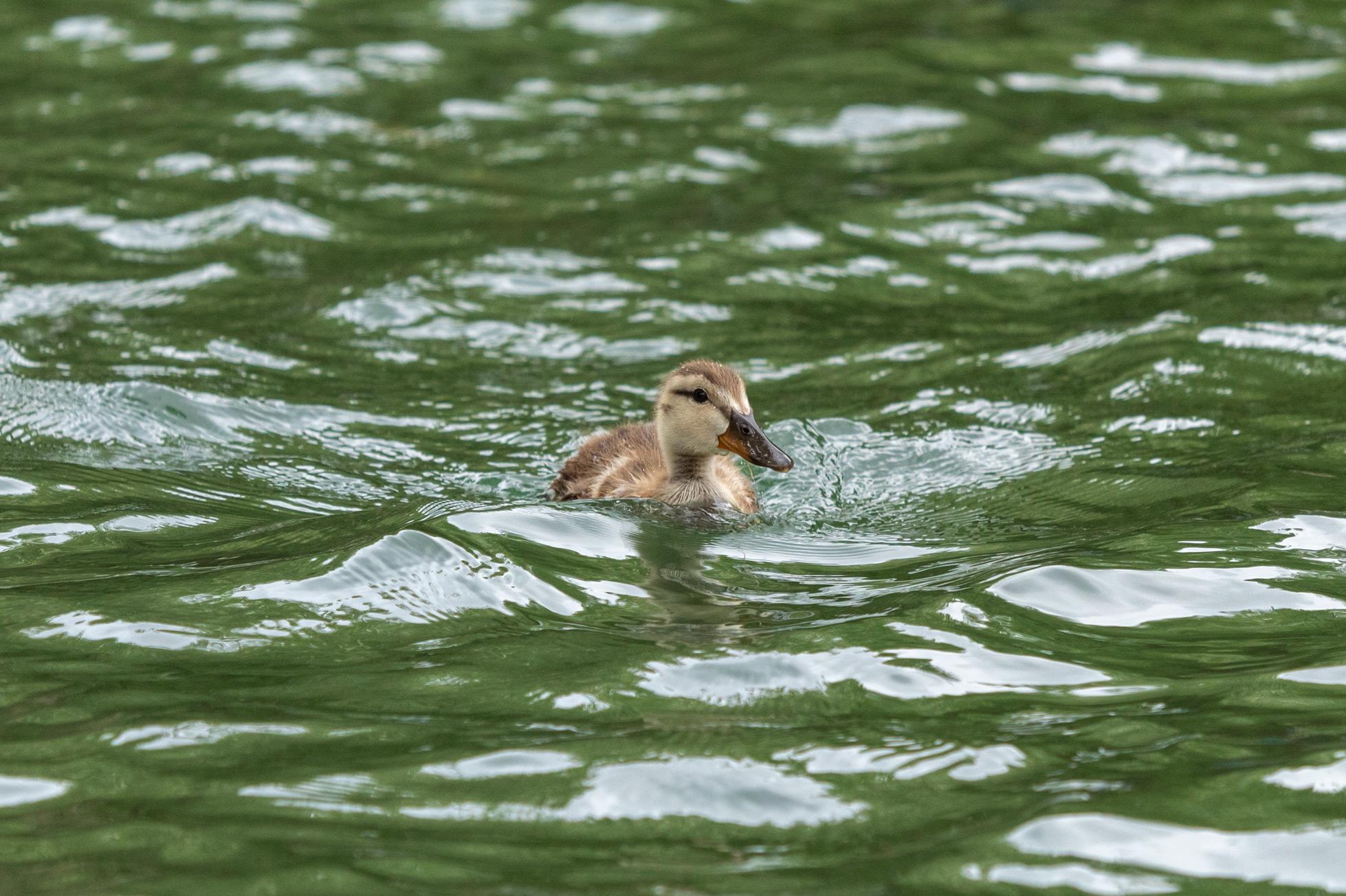 Baby mallard duck swimming