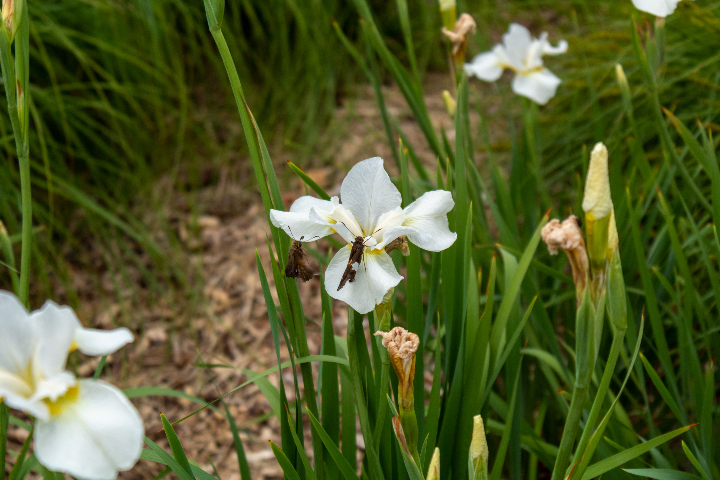 White iris with a moth resting on it and another moth flying nearby