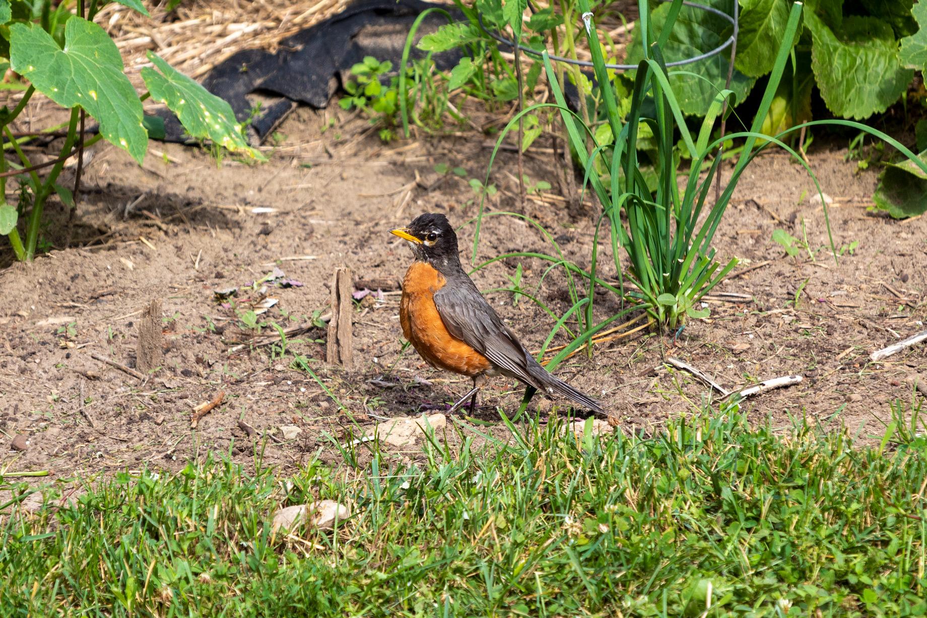 Gray and orange bird walking through a garden