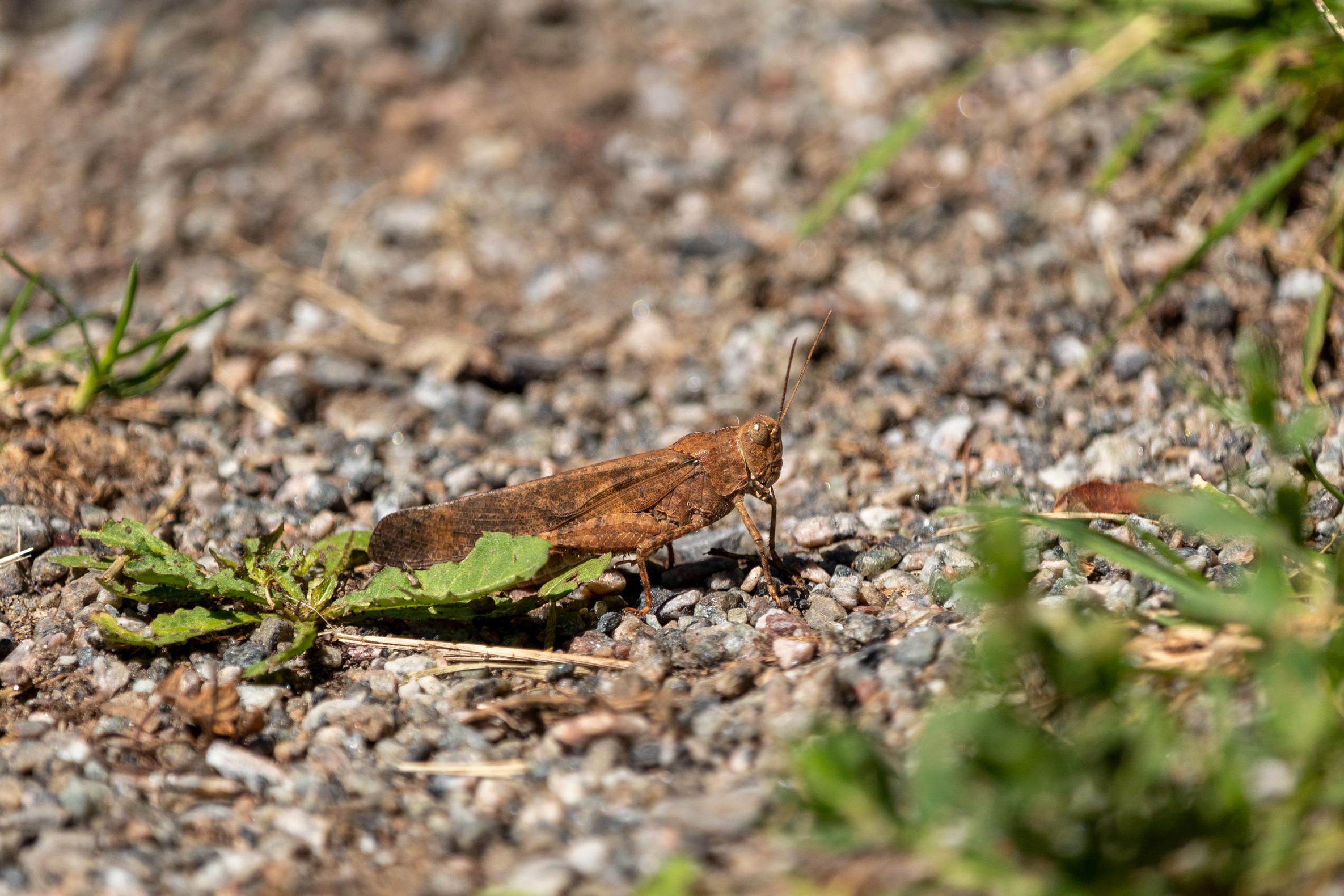 Brown grasshopper standing on gravel beside some small green plants