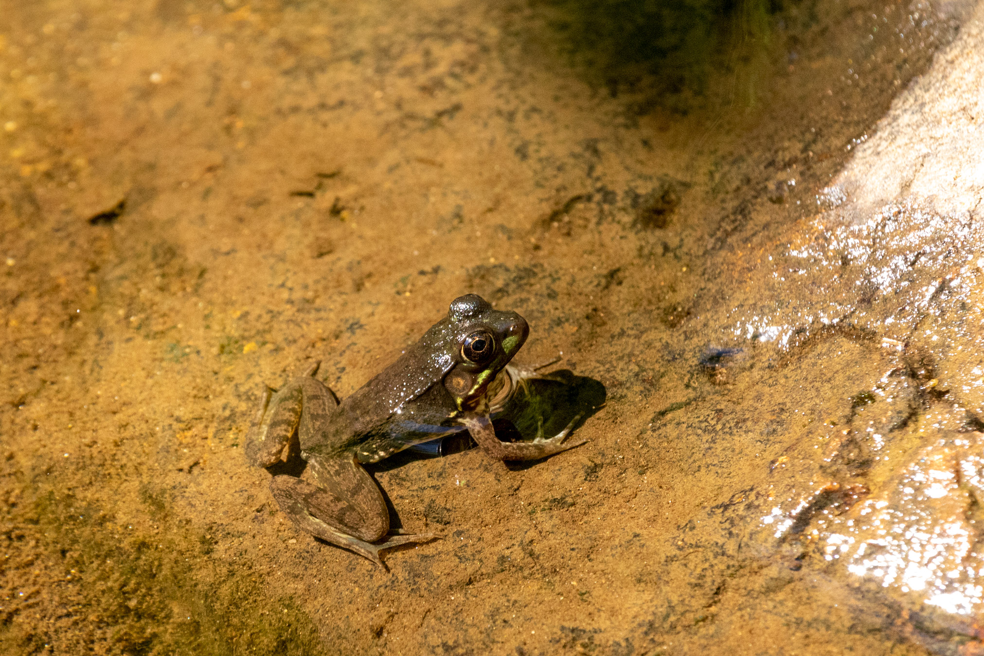 Frog sitting in shallow water