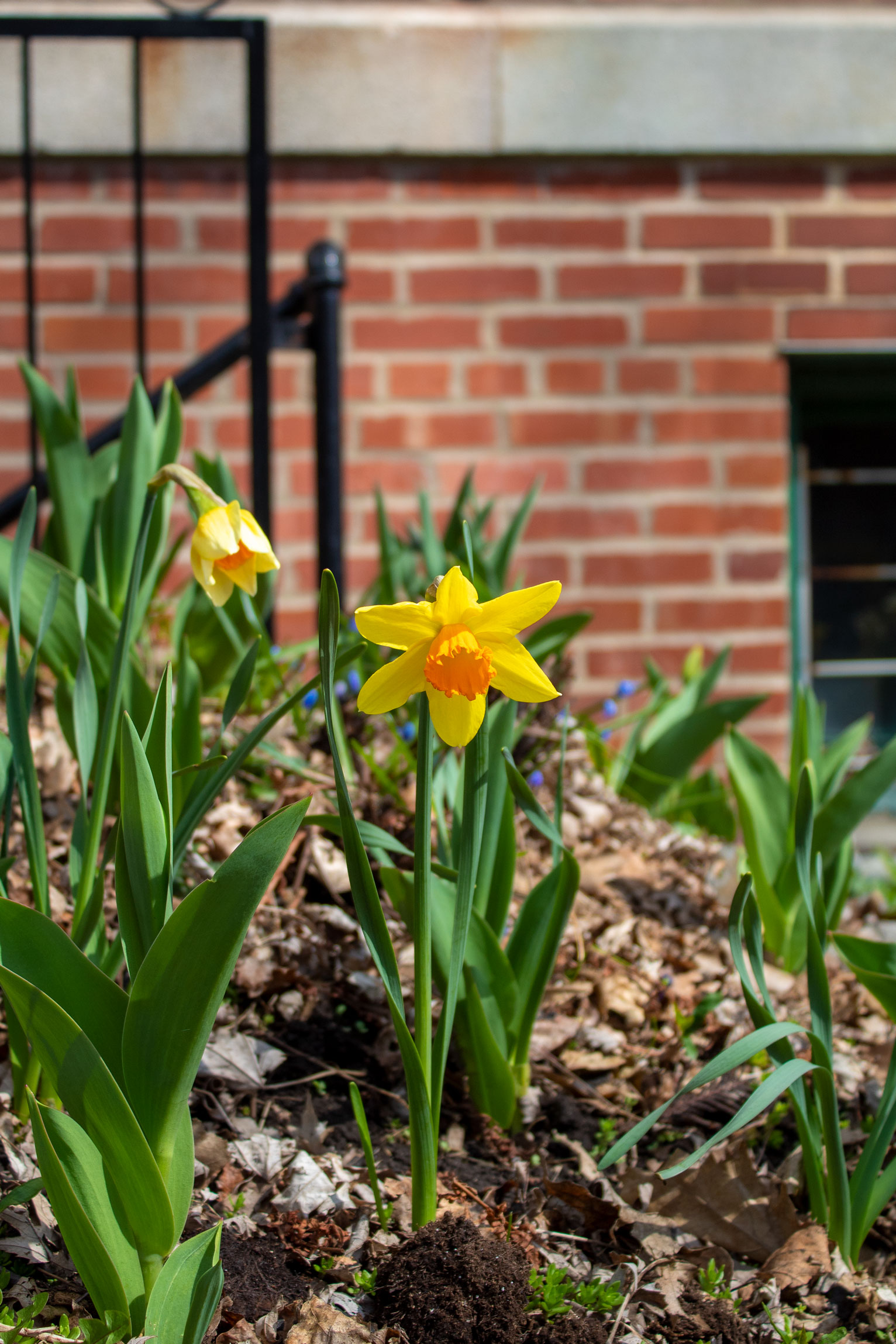 Bright yellow star-shaped flower with radiant green stalk and leaves standing in a garden