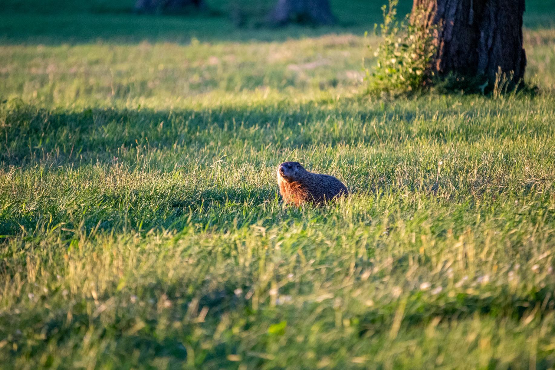 Marmot standing in a grassy field