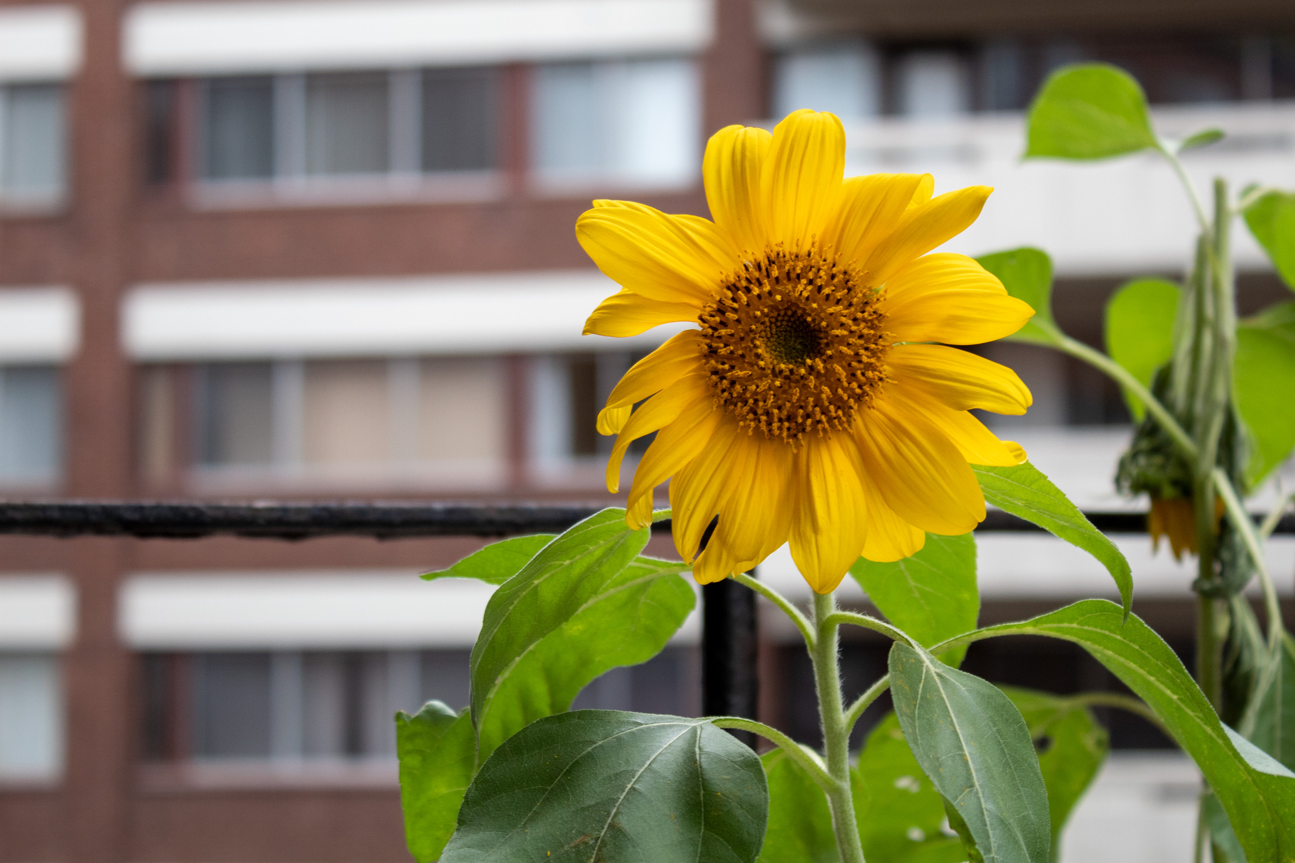Bright yellow flower with green leaves and stalk in front of its deceased relative and a blurred building