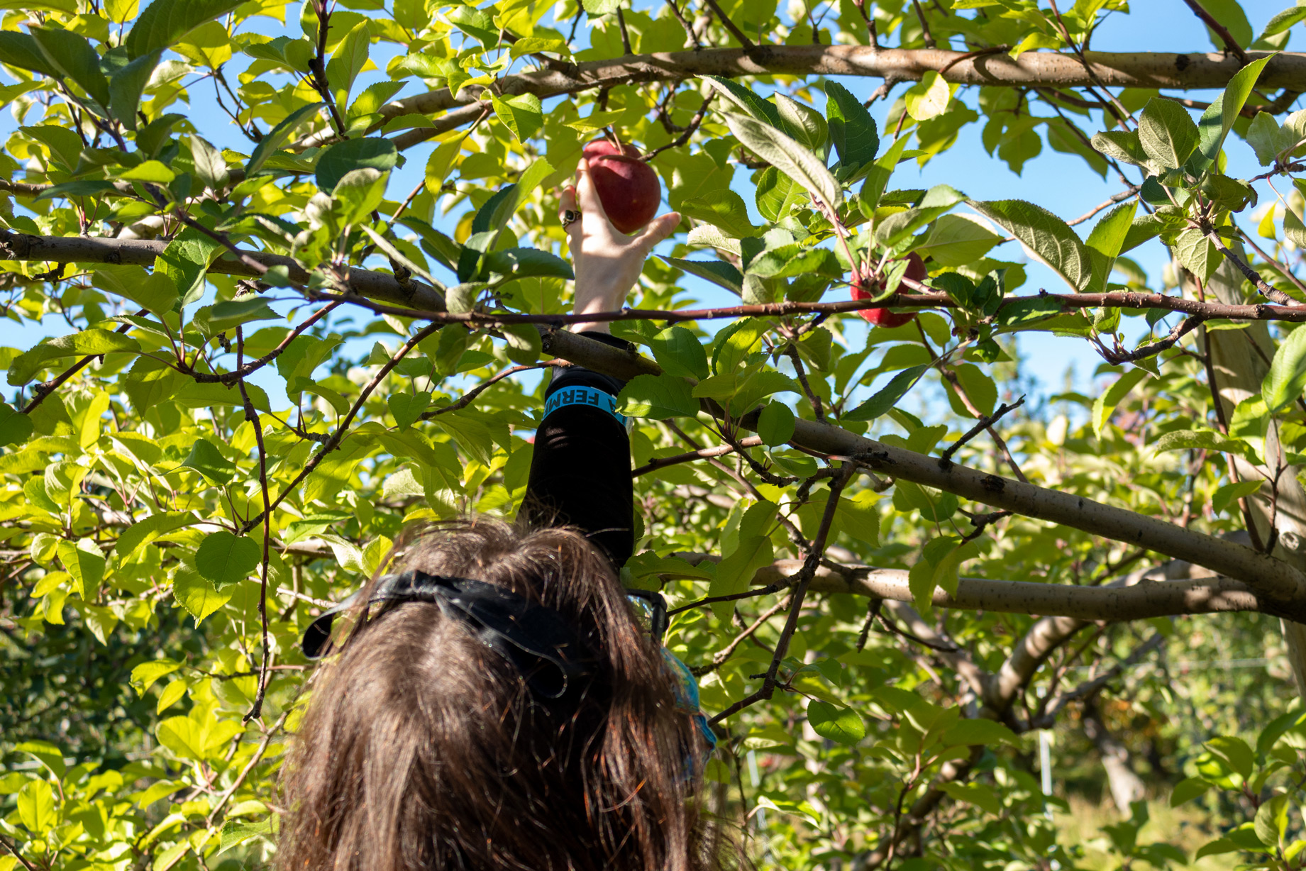 Woman reaching for a spartan apple in a tree