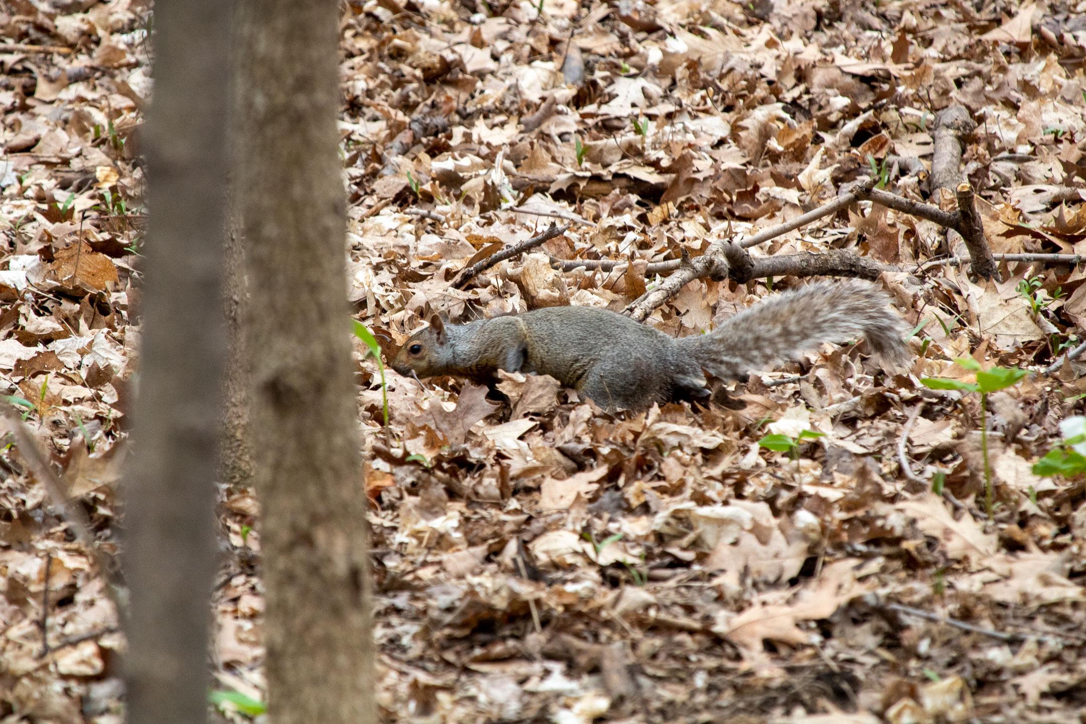 Squirrel sneaking across the forest floor