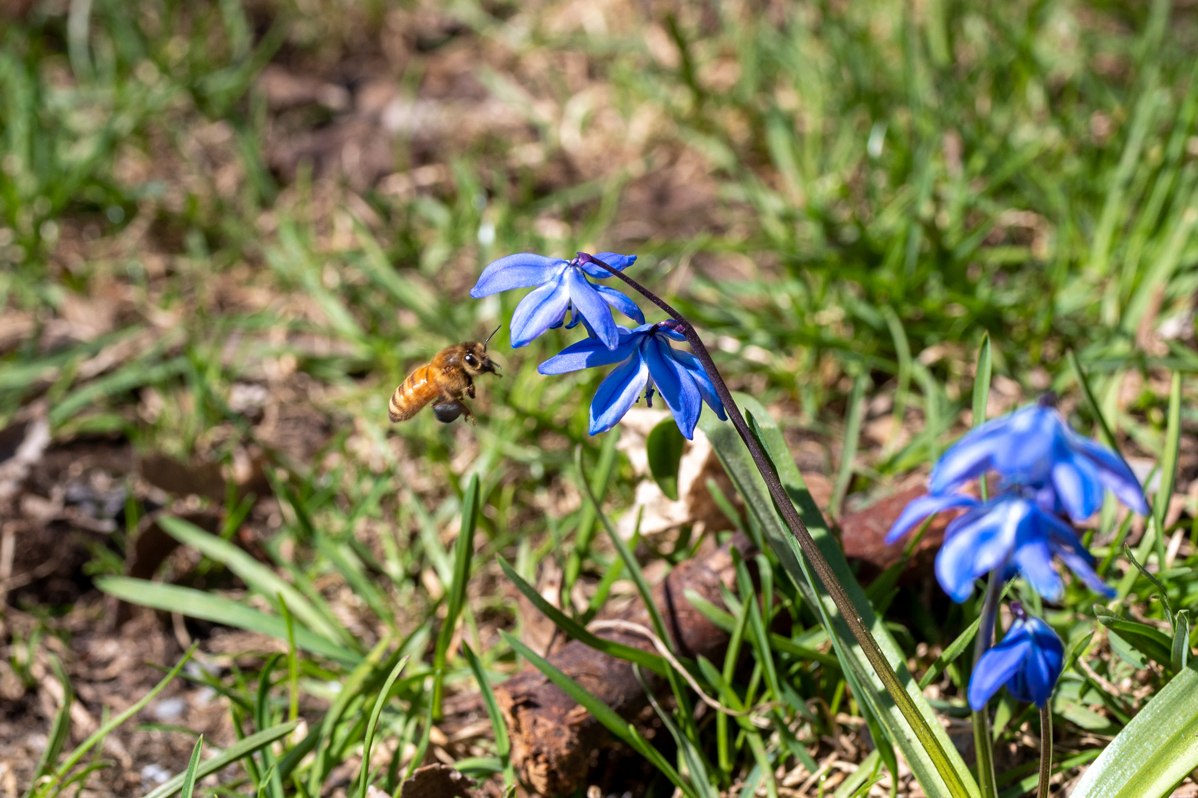Bee hovering in front of blue flower