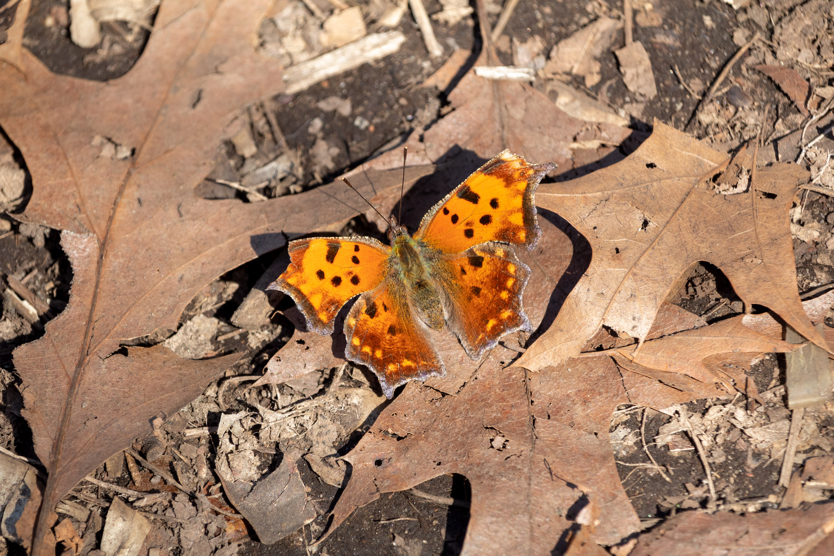 Fuzzy orange butterfly with black spots sitting on the leaf-covered ground