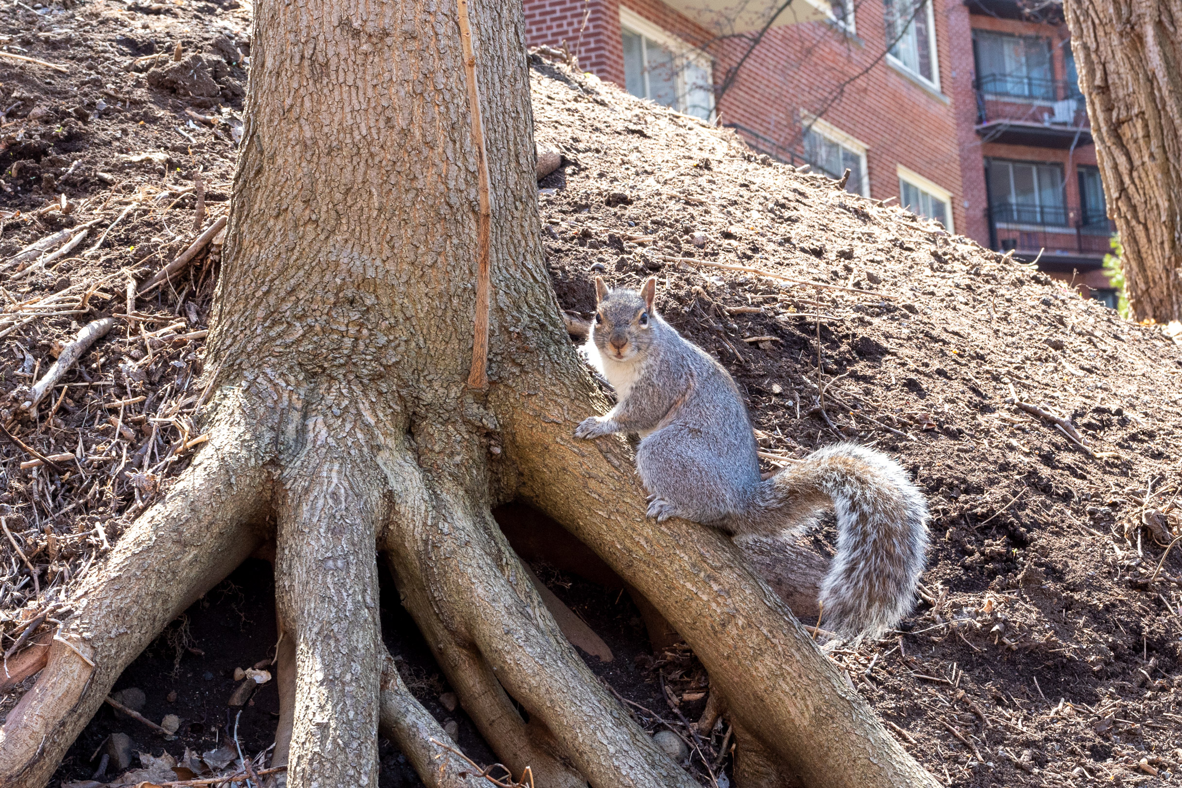 Large grey squirrel on tree root looking at the camera