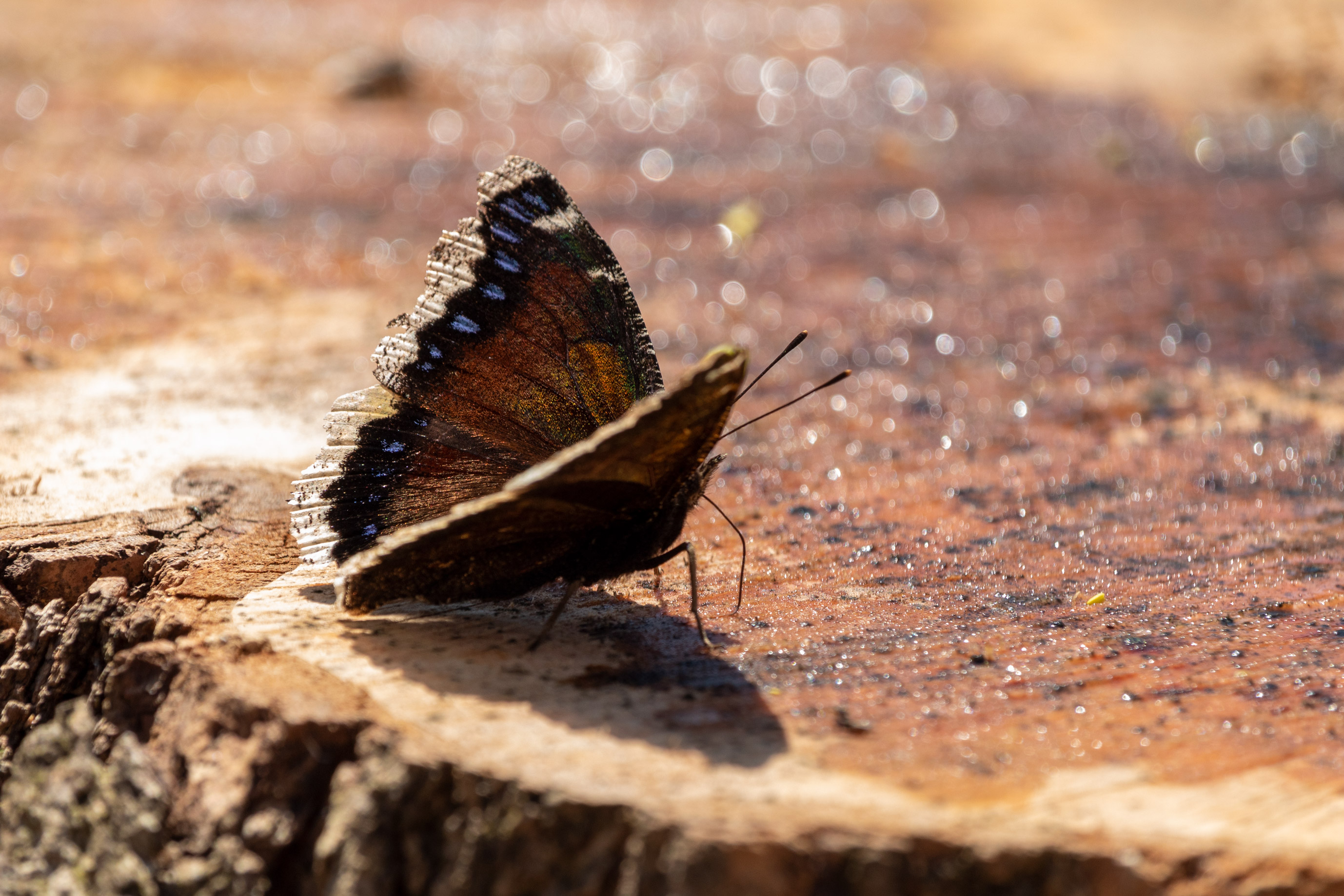 Butterfly with brown, blue, and white wings sipping sap from a tree stump