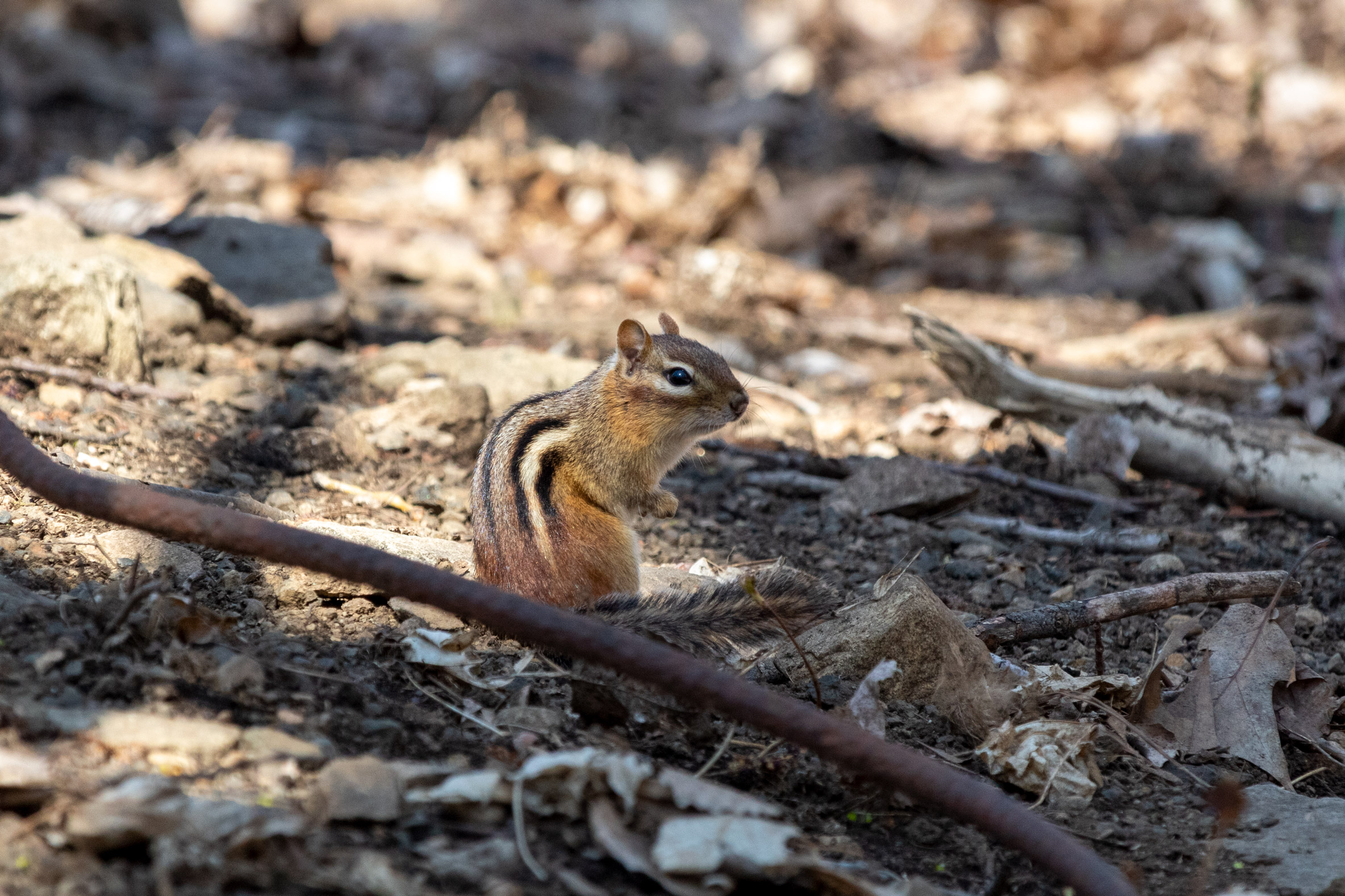Chipmunk crouching on the forest floor