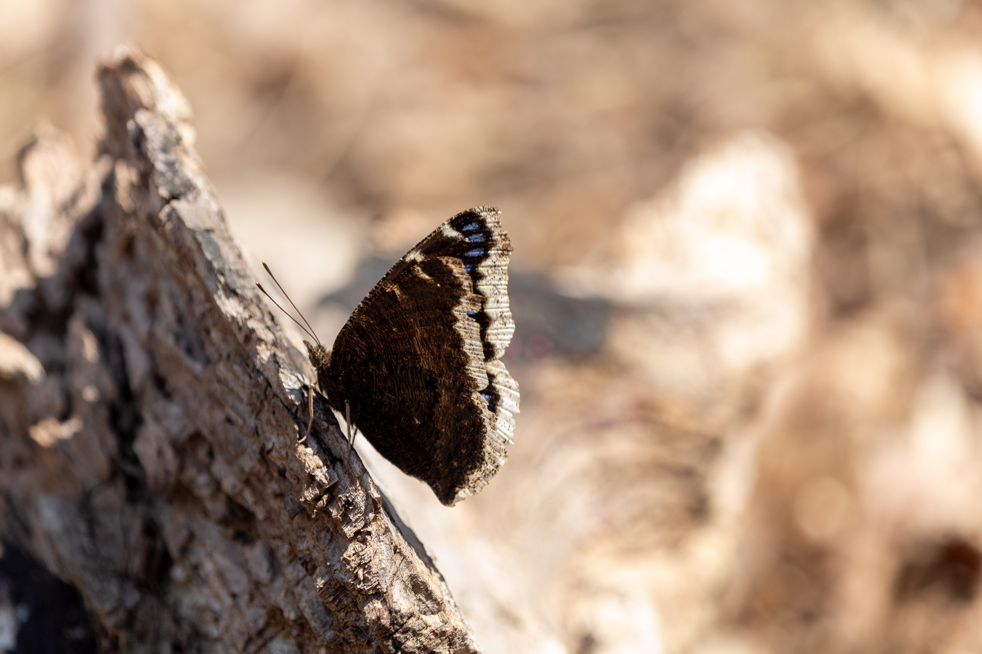 Butterfly with brown, blue, and white wings sitting on a log