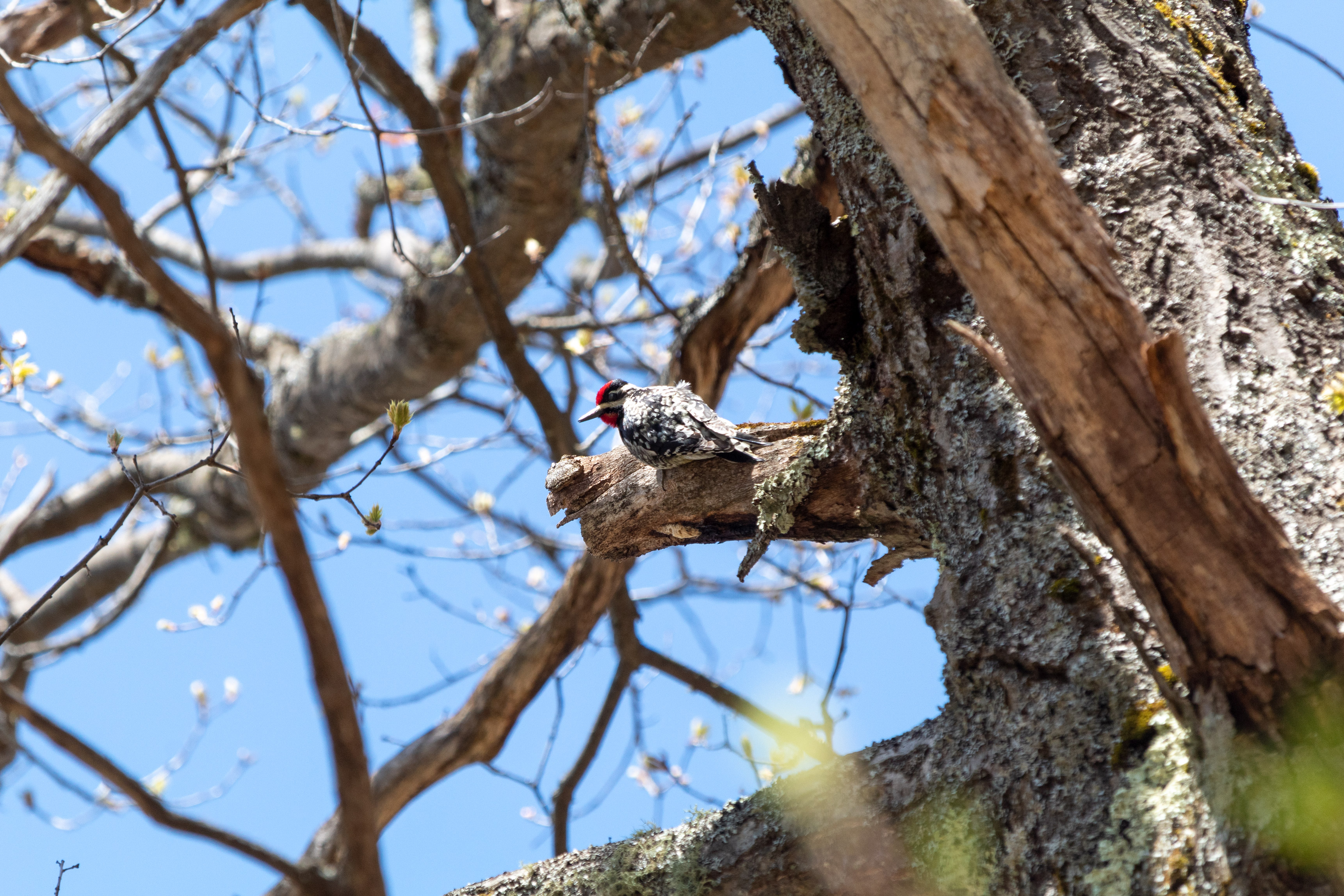 Woodpecker with white spots and a red tuft on the top of its head sitting on a tree branch