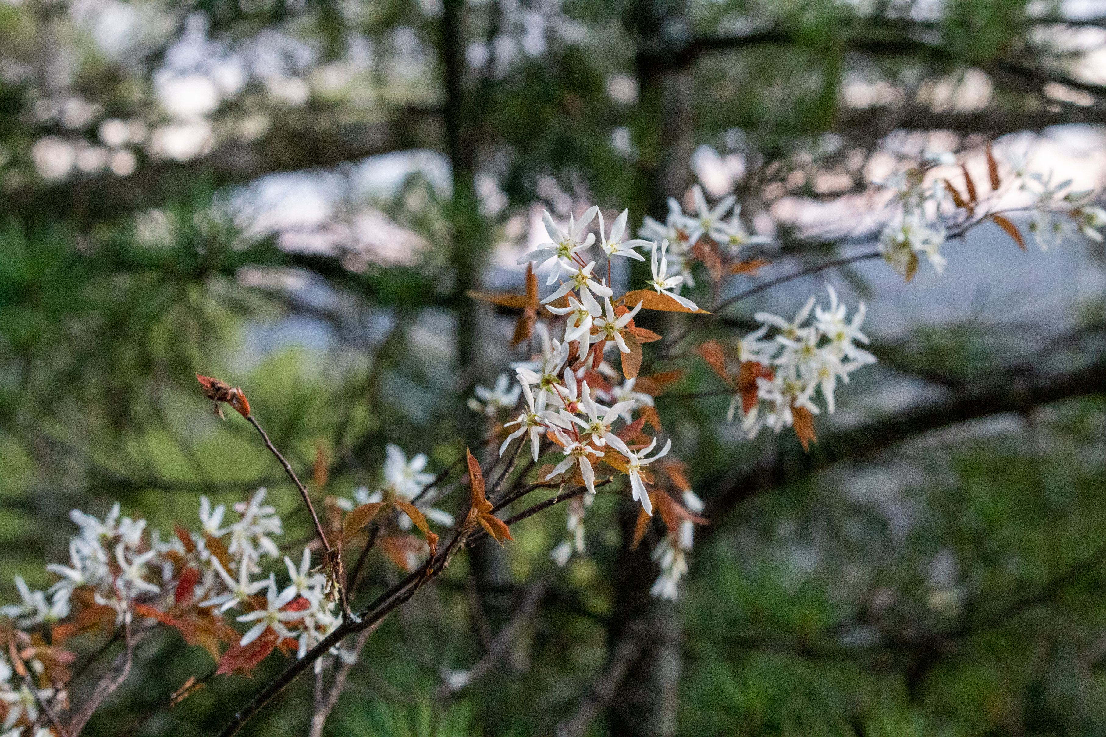 Little white flowers blossoming on a tree branch