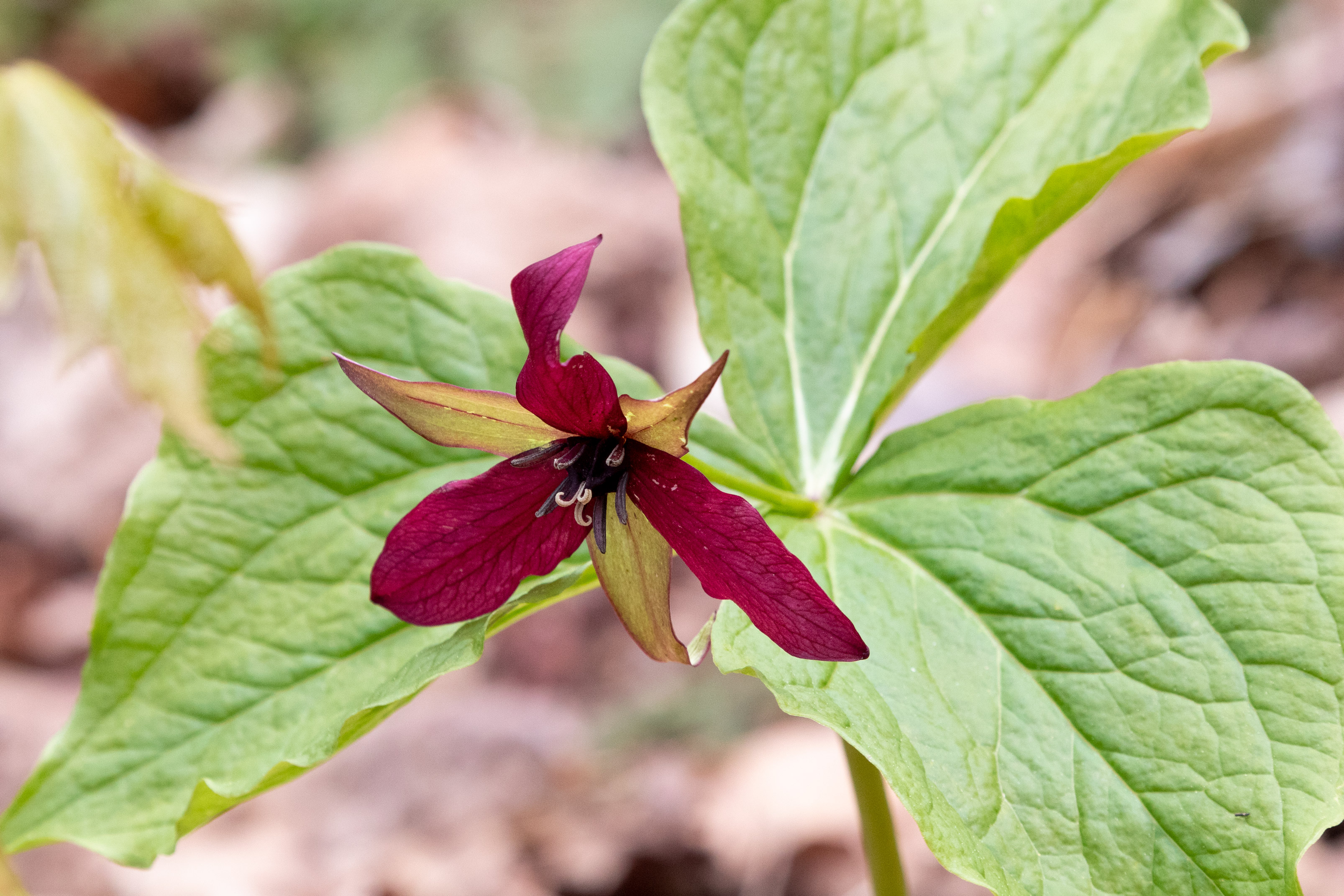 Dark red flower with three petals and three leaves on the forest floor