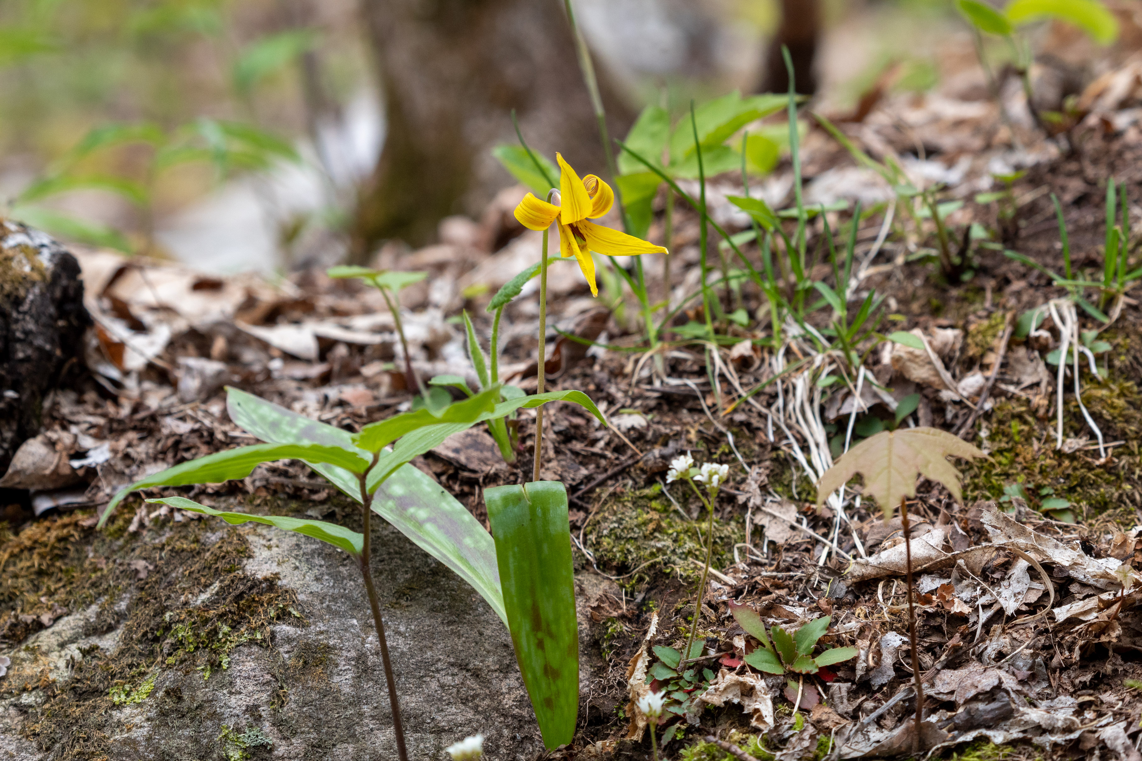 Trout lily on the forest floor