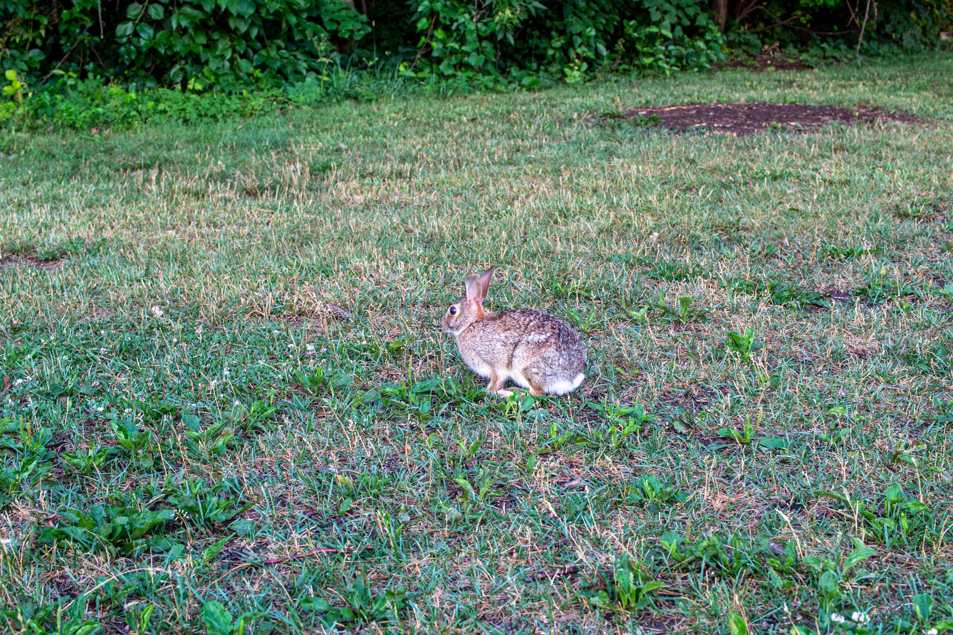 Small round rabbit sitting on a grassy field
