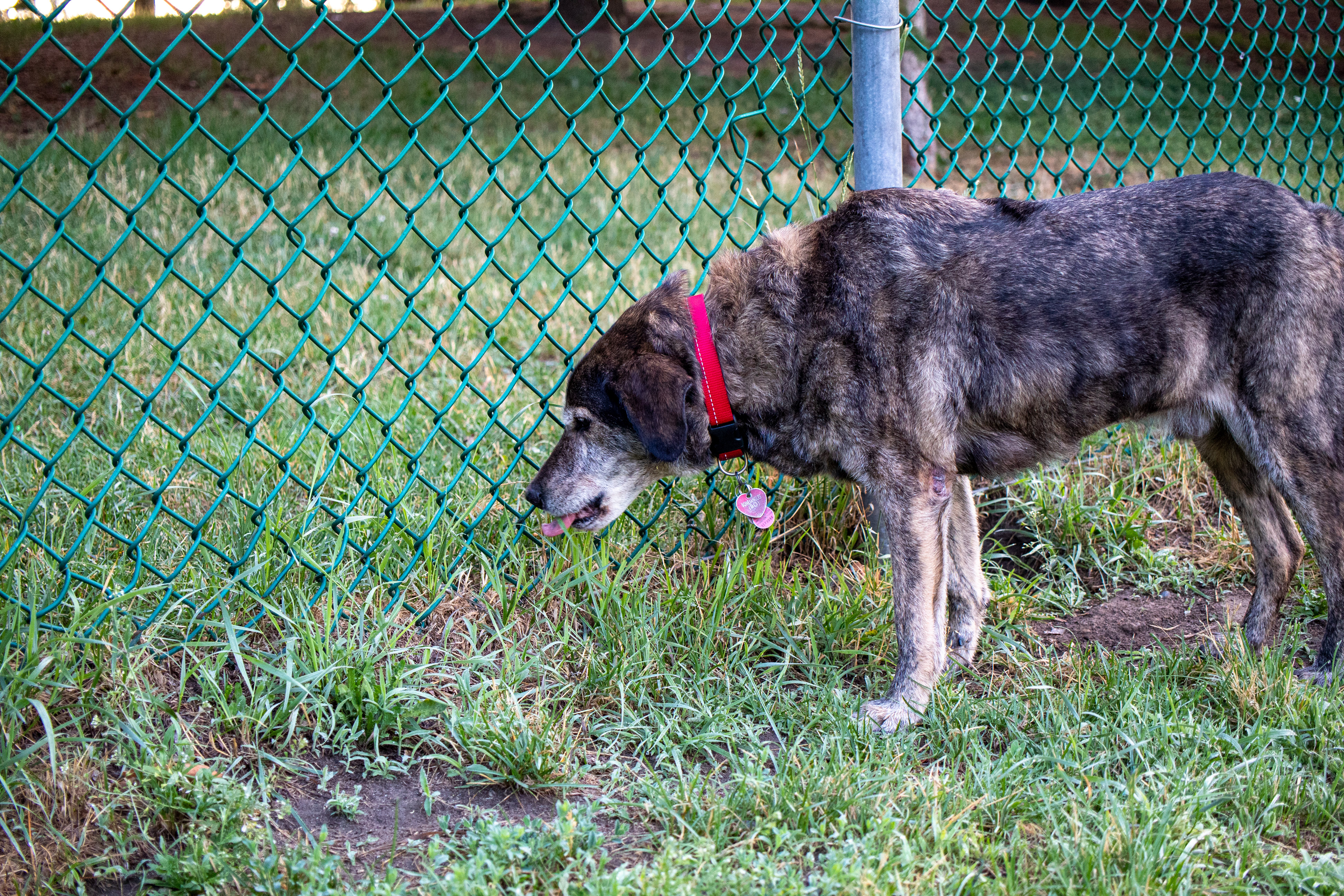 A very silly dog who only goes to dog parks to eat grass around the fence is doing exactly that