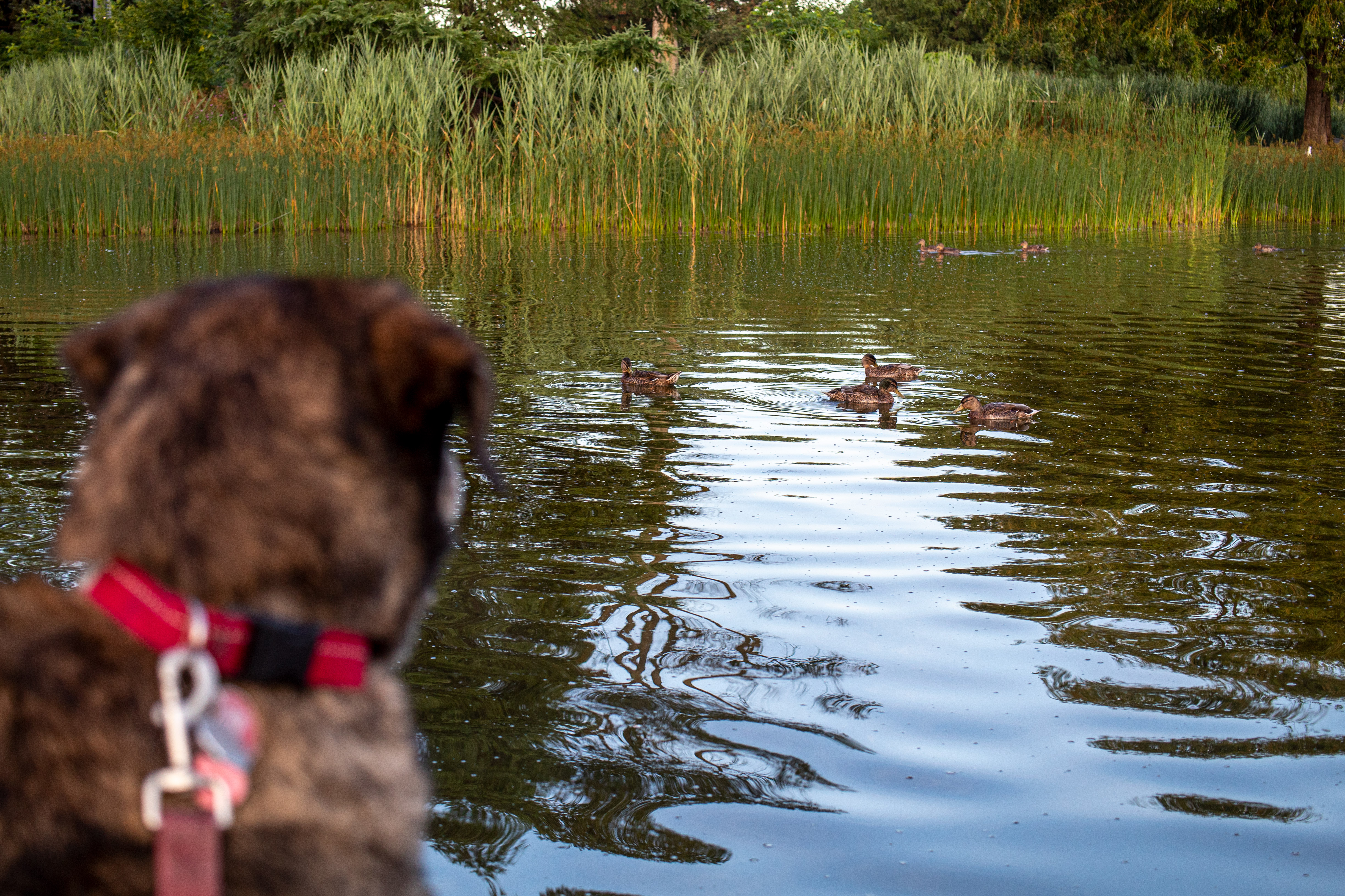 Dog with red leash and collar (out of focus) is looking at ducks in the background (in focus)