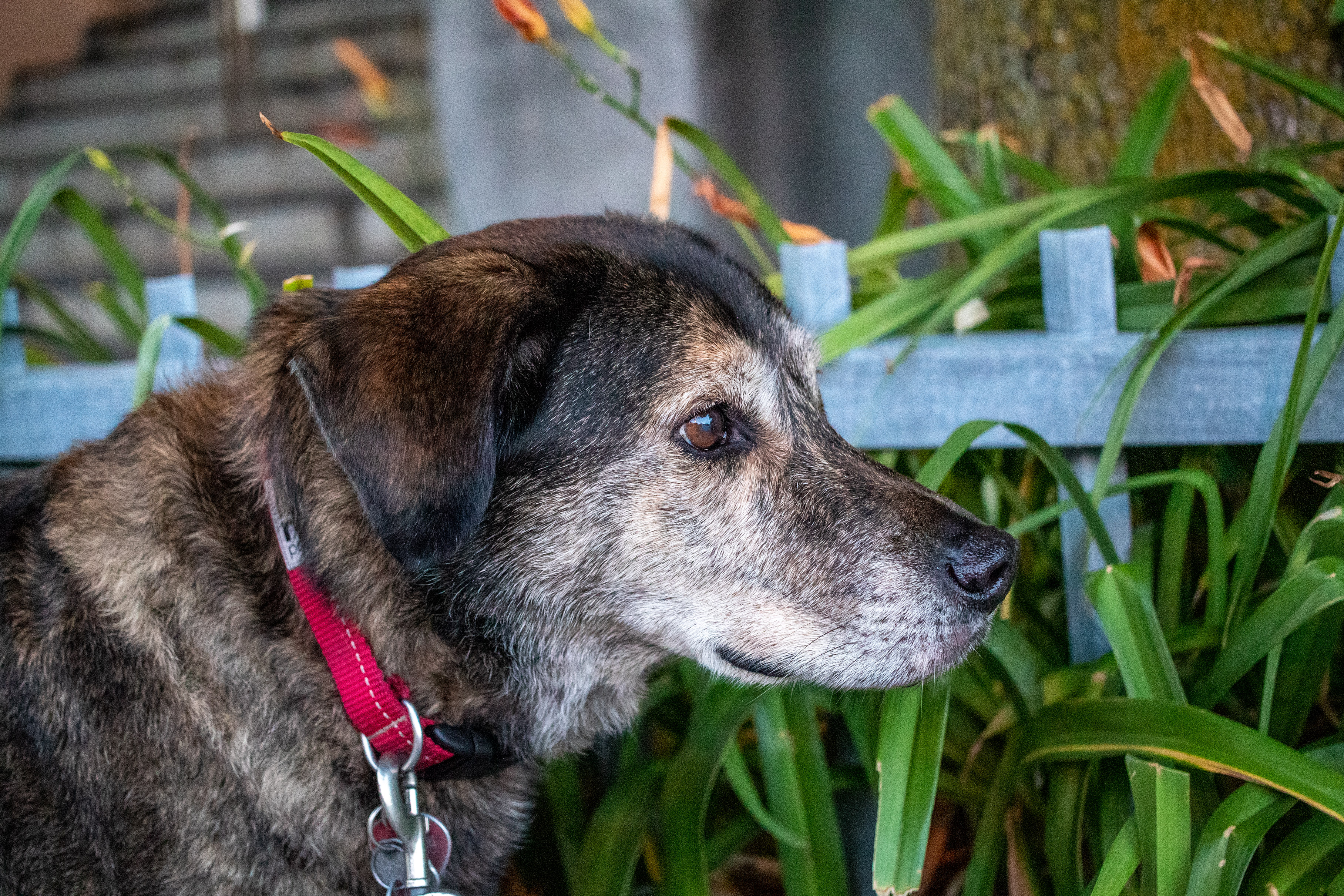 Dog with a red collar in front of a blue fence and orange lilies