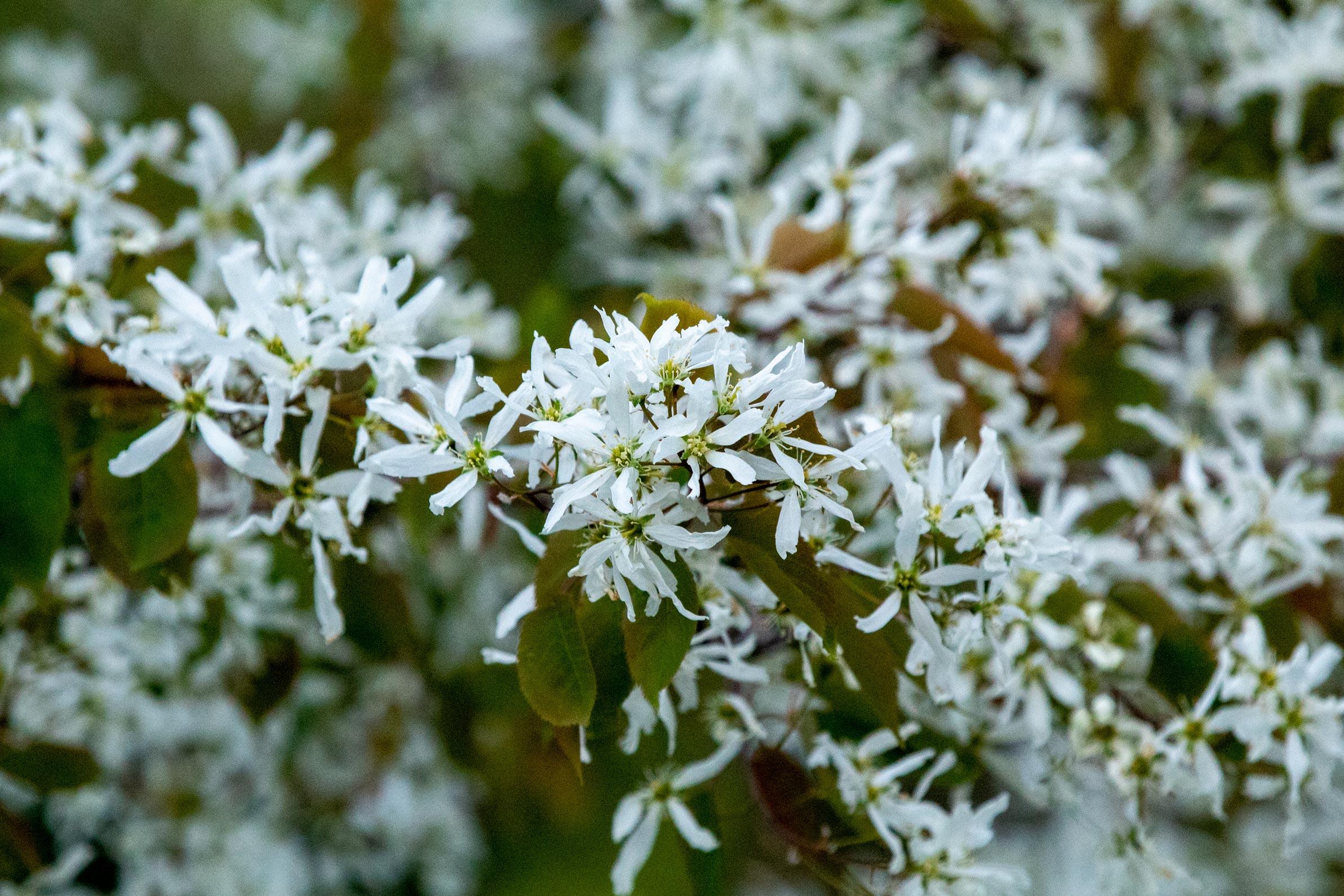 Tiny white flowers on a tree