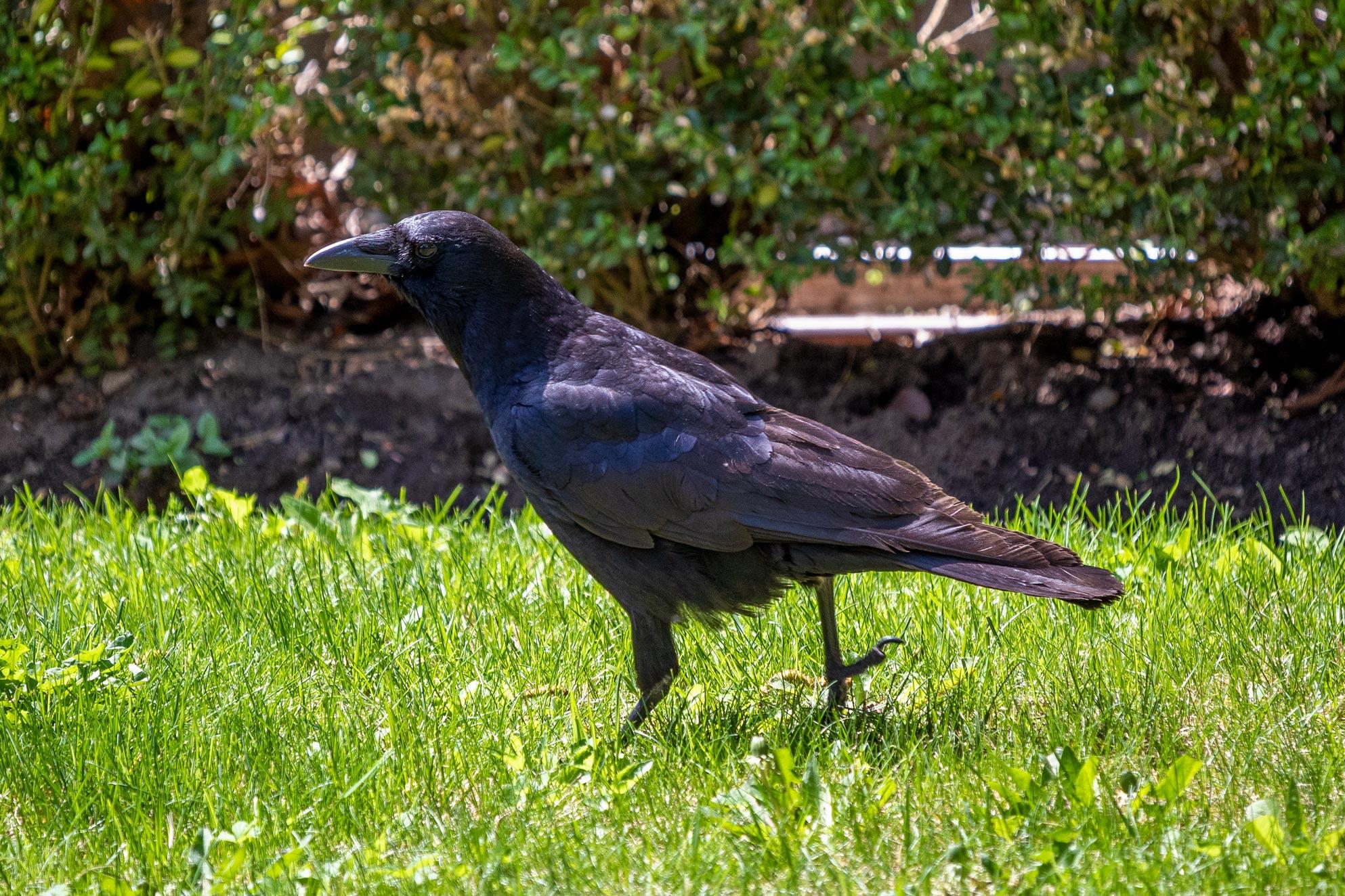 Black bird walking on the grass