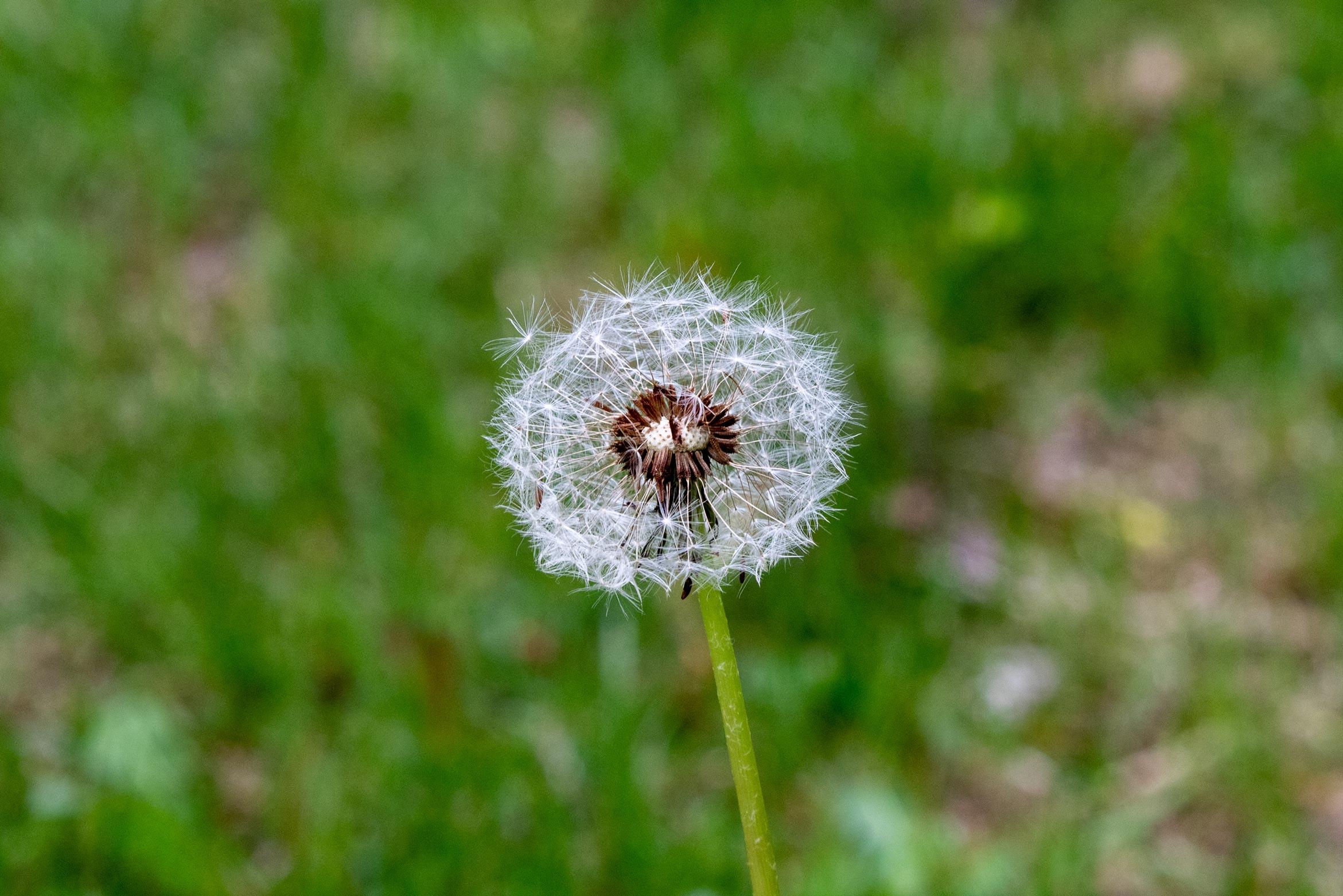 Dandelion covered in white fluff