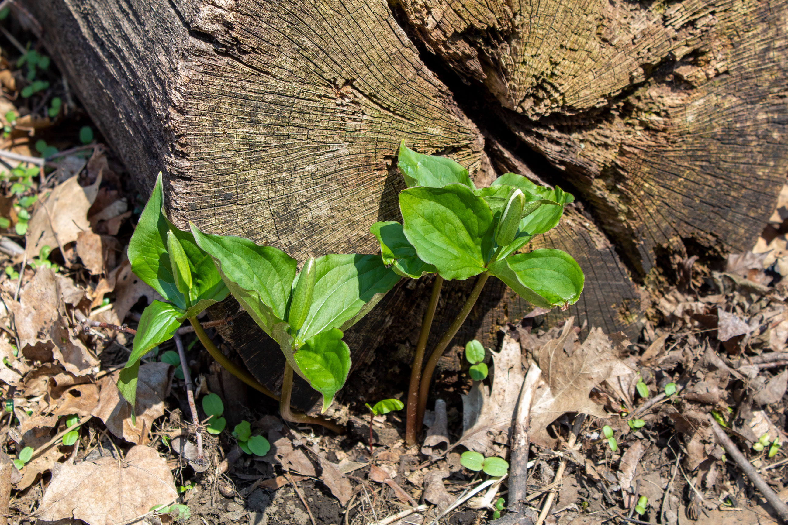 Trilliums beside a log on the forest floor