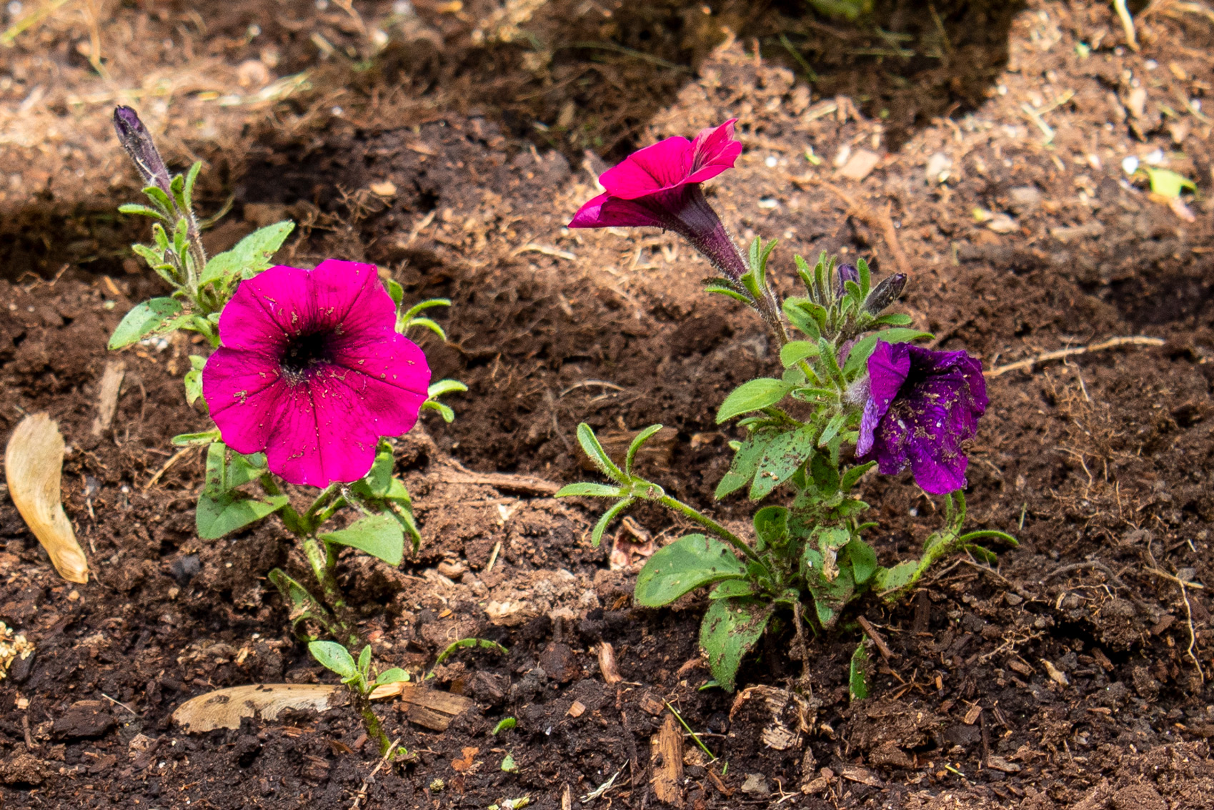Two flowers, one a pinkish purple and the other a deeper, bluer, purple