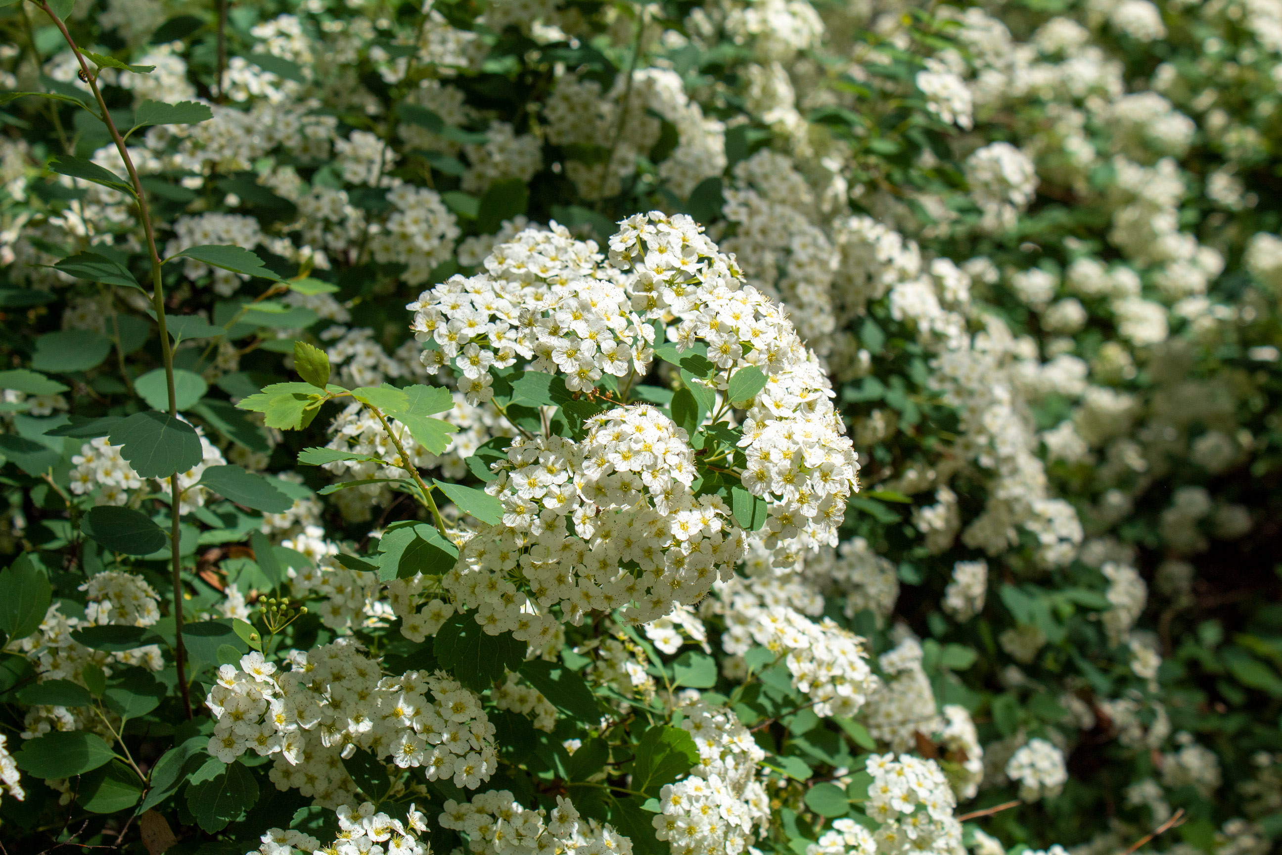 Bundles of white flowers on a hedge