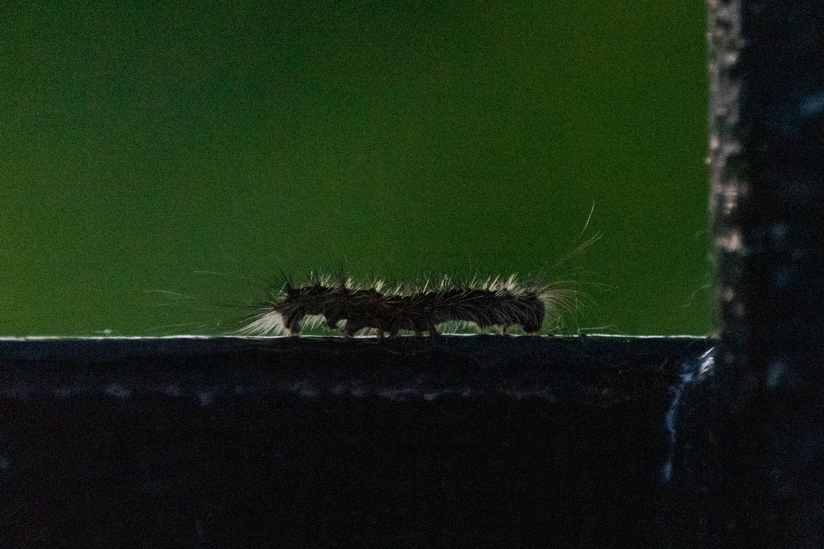 Caterpillar crawling along a metal fence
