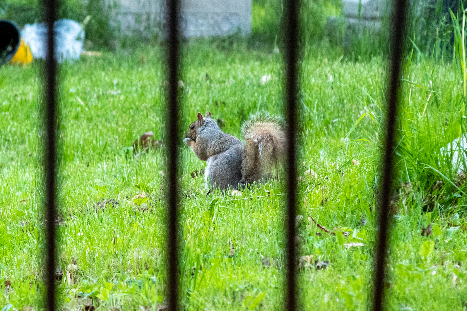 Squirrel in the grass framed by the bars of a metal fence
