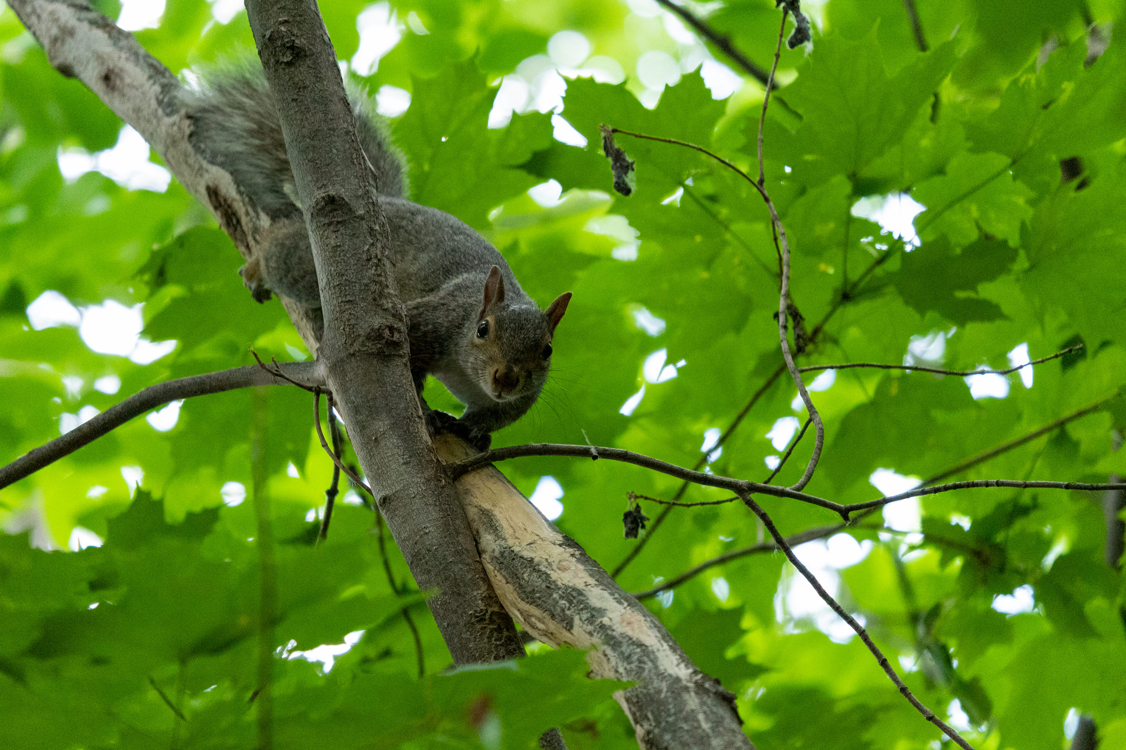Squirrel on a tree branch looking at you
