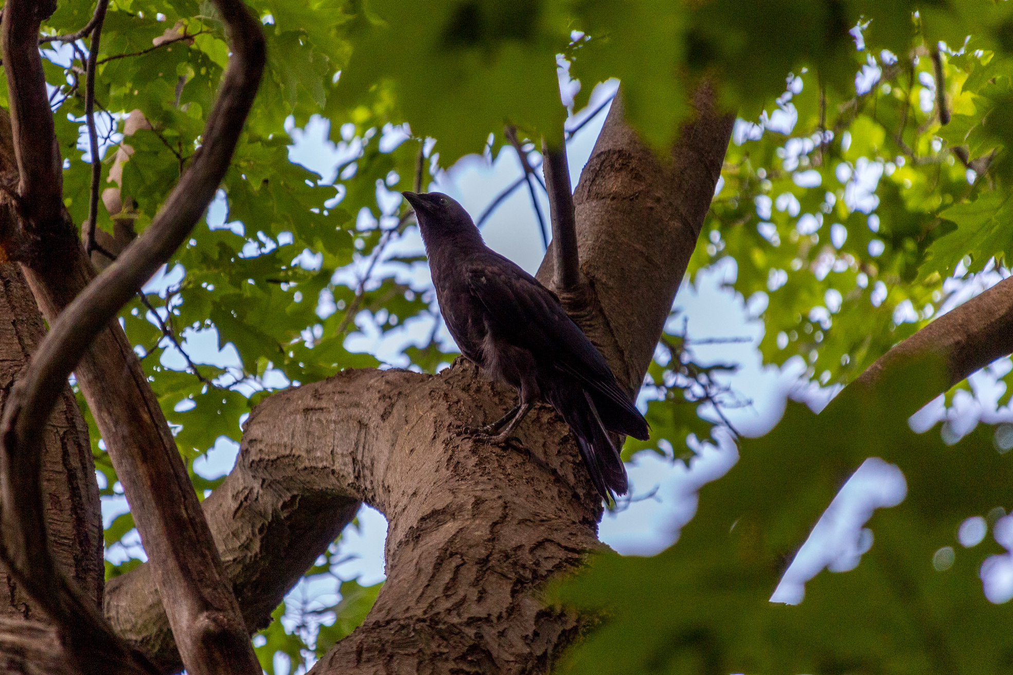 Crow standing on a tree brach looking magnificent